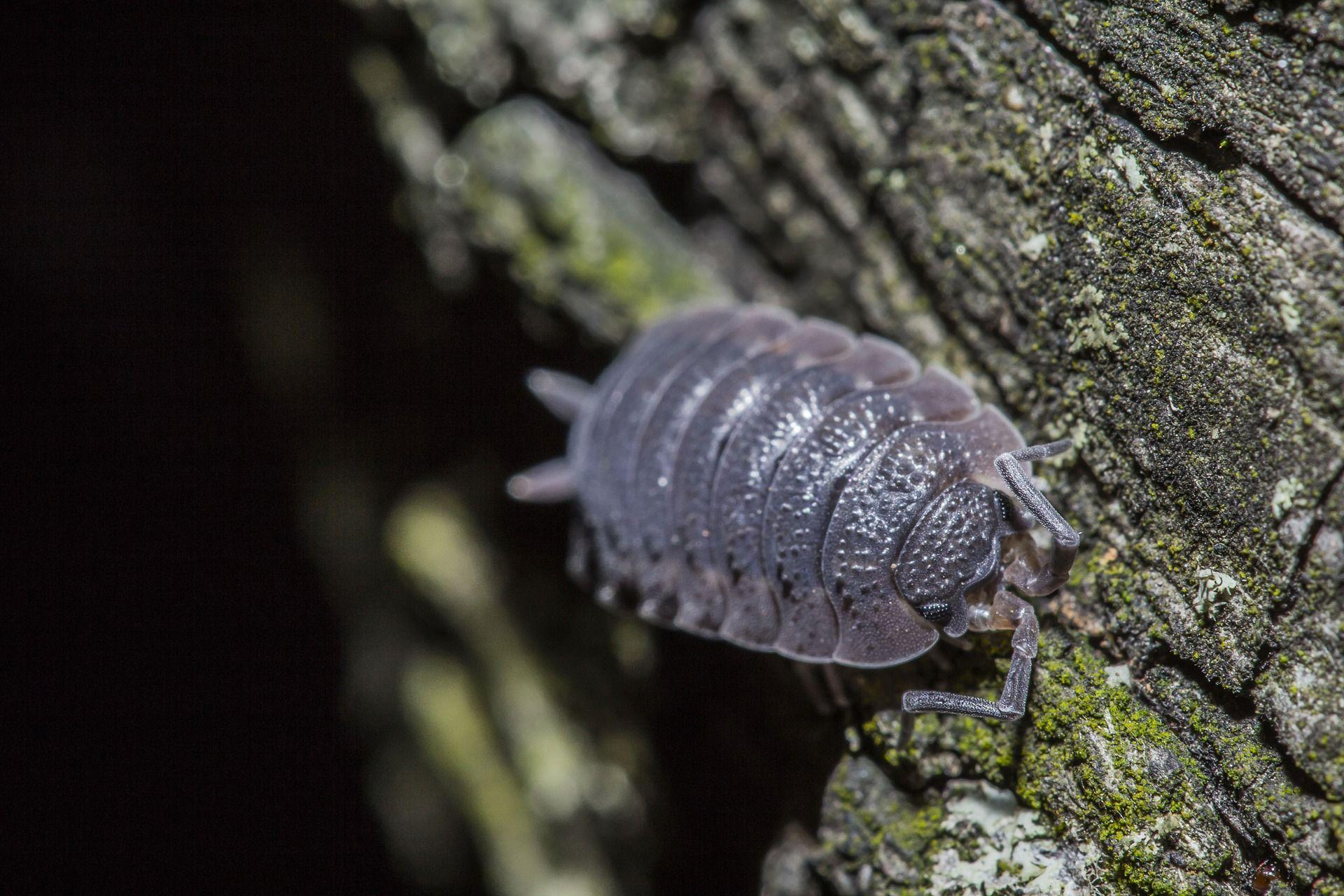 minibeast woodlouse outdoors